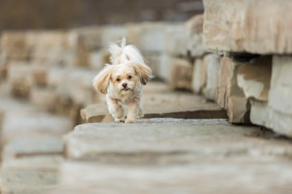 The boulder wall at Pavilion Shore Park near Lakeshore Park in Novi makes a great place for this small cream dog to play