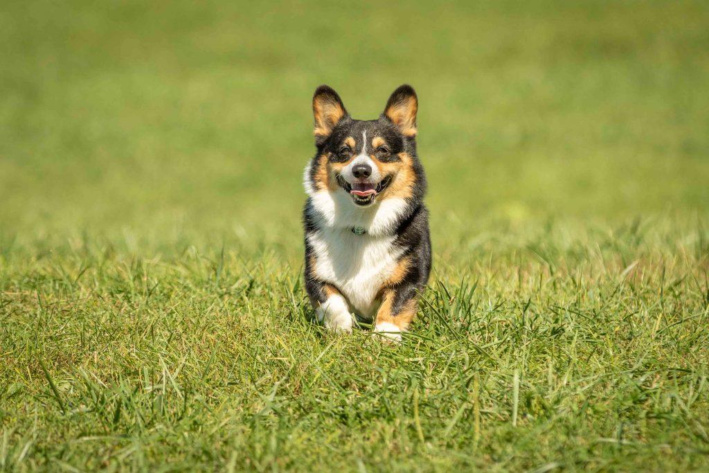 A corgi runs towards the camera in full sunlight at an Ann Arbor dog park