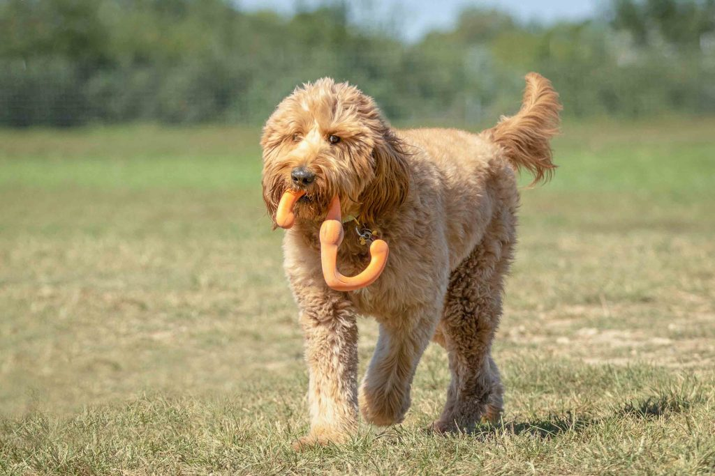 A golden doodle mix holding a toy at the Swift Run dog park