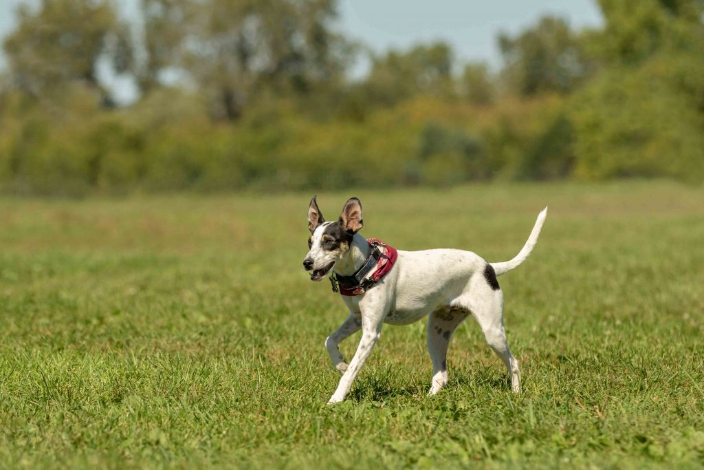 A mixed breed rescue dog plays at the dog park in Ann Arbor, Michigan