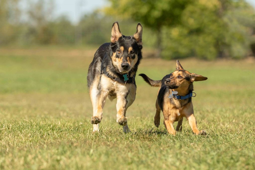 A beagle mix and a german shepherd dog running at full speed through the grass of a dog park in Michigan