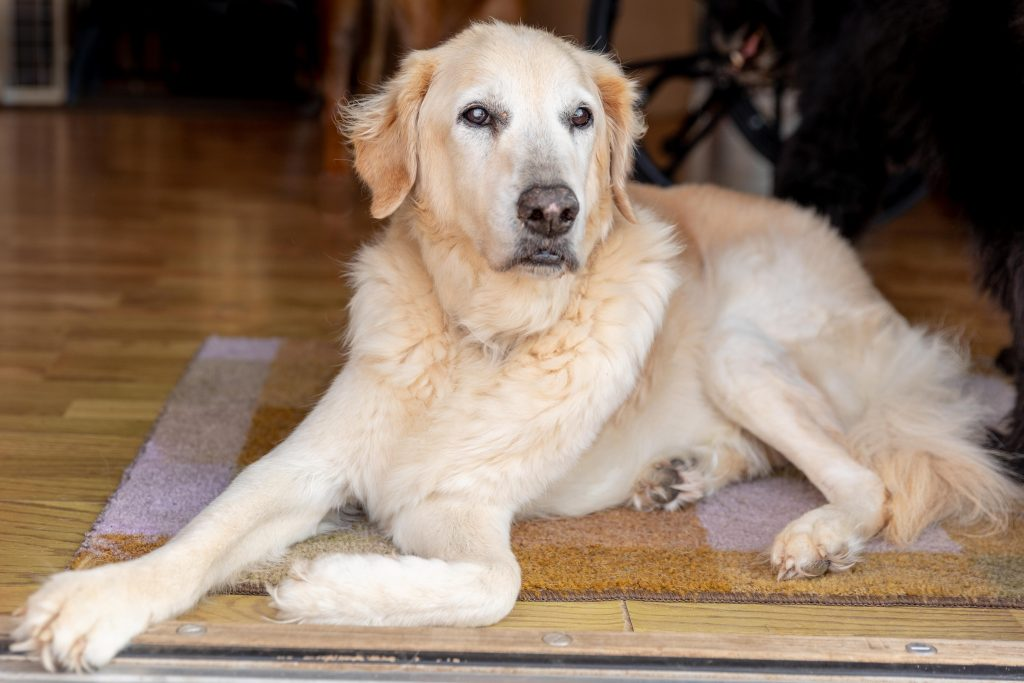 A senior golden retriever lays on a rug in the doorway of the Silver Muzzle Cottage in Michigan