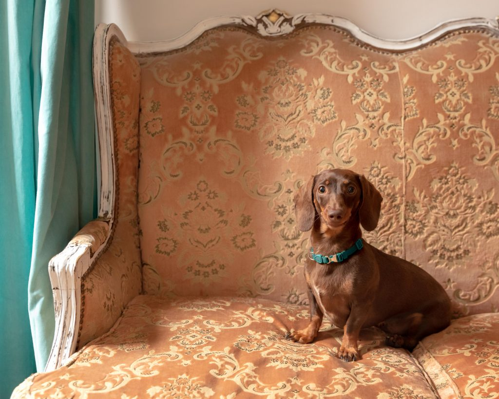 A brown dachshund dog on a vintage couch in an elegant home