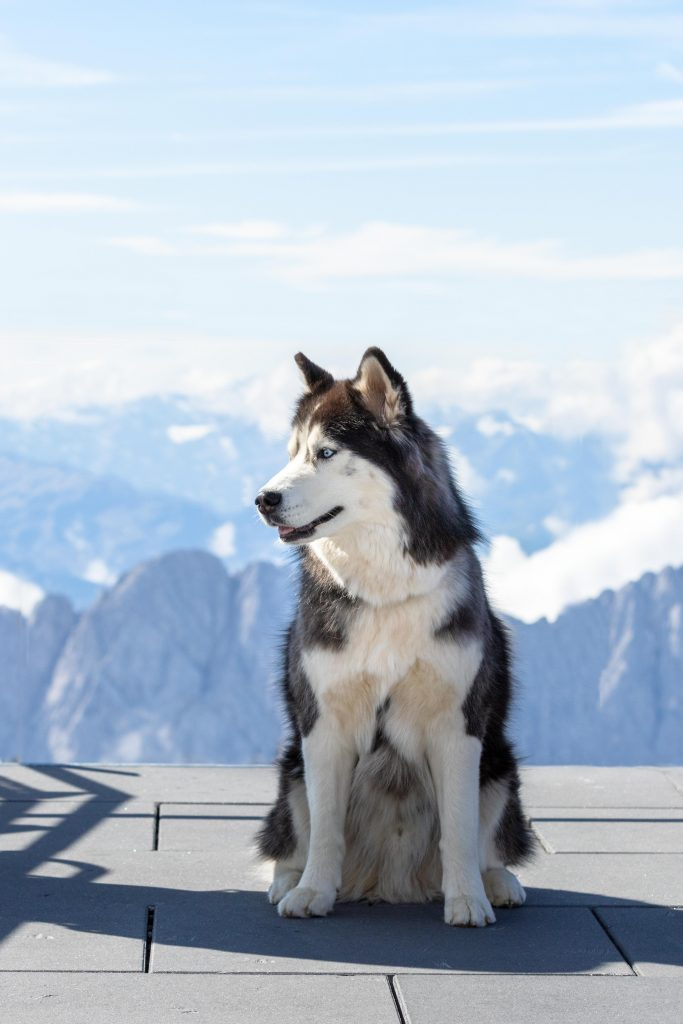 A beautiful husky dog with the alps of Germany and Austria in the background