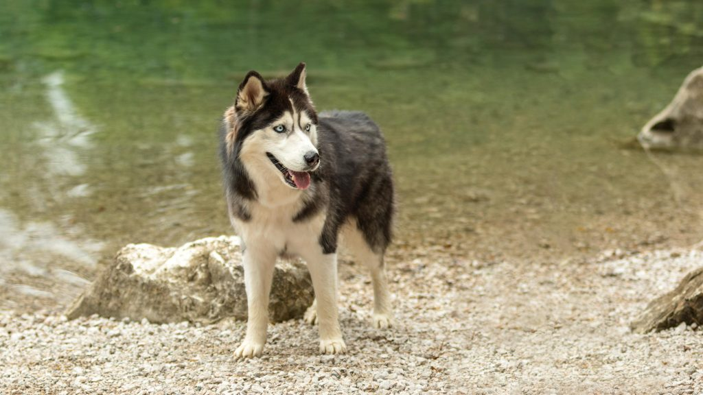 A happy husky dog at the edge of Lake Eibsee in Germany