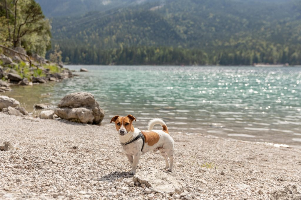 A Jack Russell terrier on the shore of Lake Eibsee in Germany