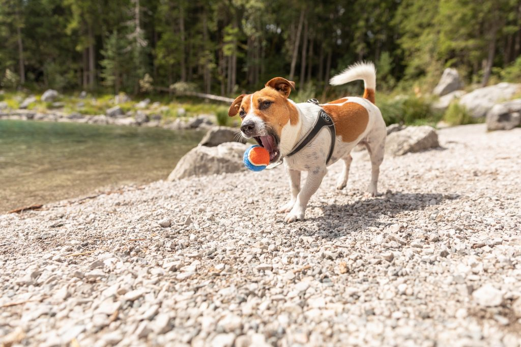A small Jack Russell terrier catching a tennis ball next to Lake Eibsee in Germany