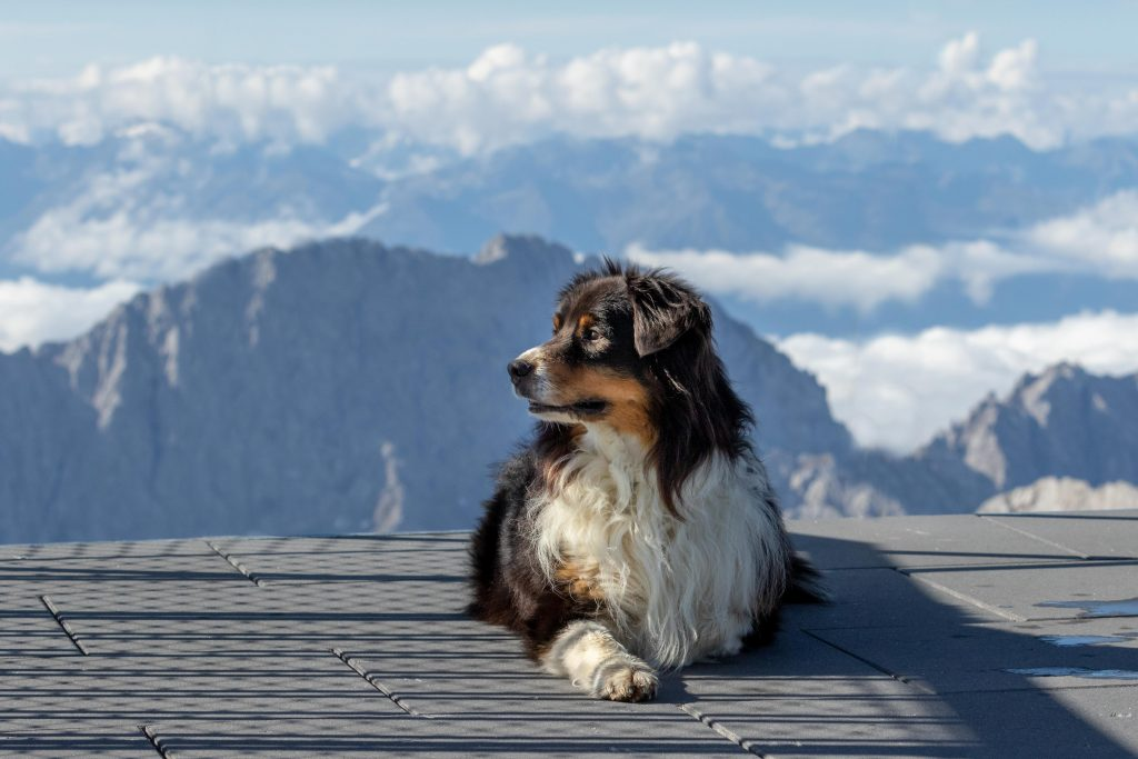 An Australian Shepherd looking in the distance on top of Zugspitze in Germany