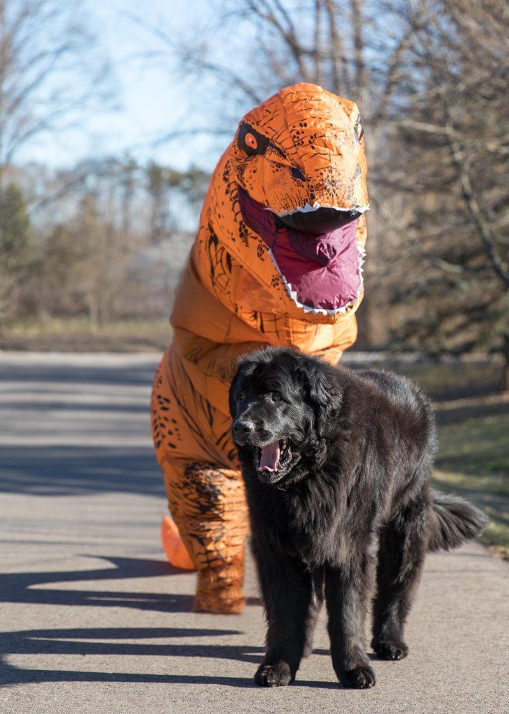A newfoundland dog being walked by a TRex dinosaur in a neighborhood