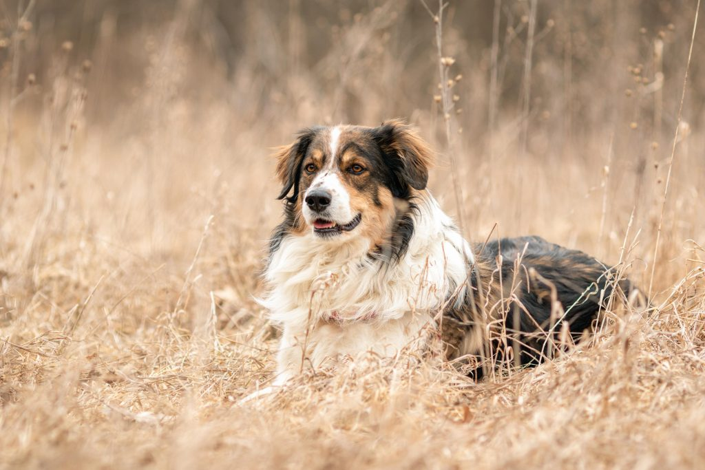 An alert English shepherd dog laying in the dead grass at Maybury State Park, Michigan