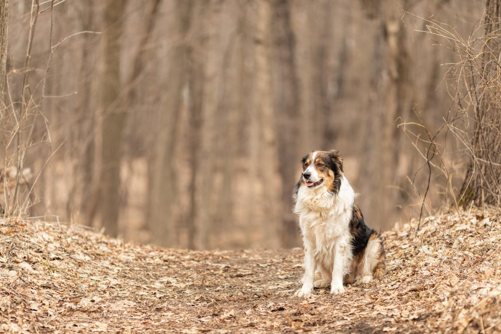 A tri colored English shepherd sits on a forest path