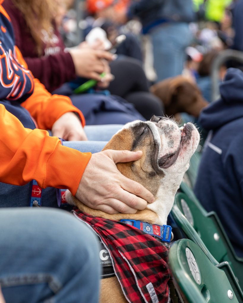English bulldog enjoying pets from it's owner in the stadium sets at the Tigers baseball game