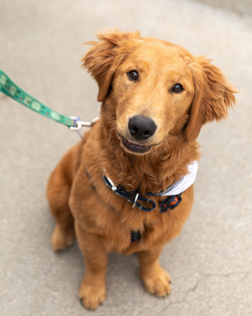 A young golden retriever dog at Comerica Park