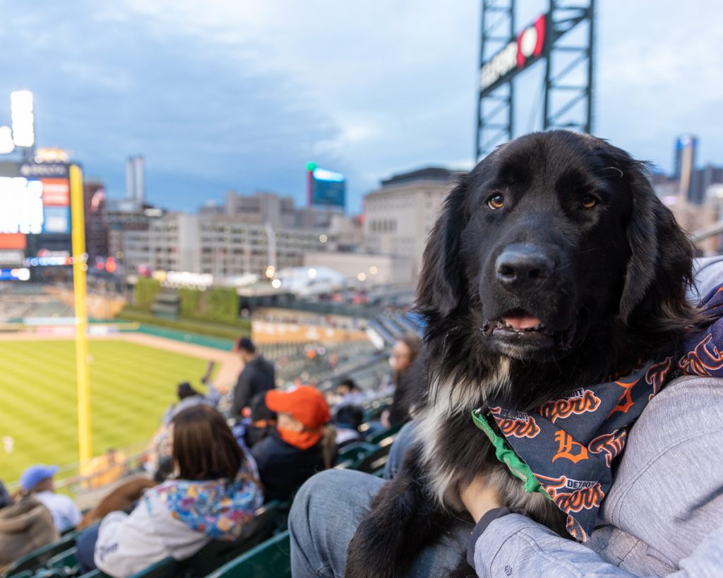 A Newfoundland dog sits on it's owners lap in the seat of Comerica Park, Detroit, during a dog-friendly baseball game