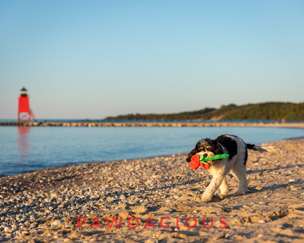A doodle dog carrying a rose toy in front of the Charlevoix lighthouse in Michigan