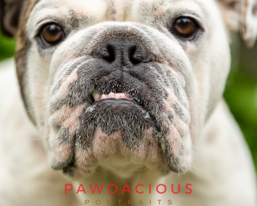 A close up of the nose and teeth of an English Bulldog