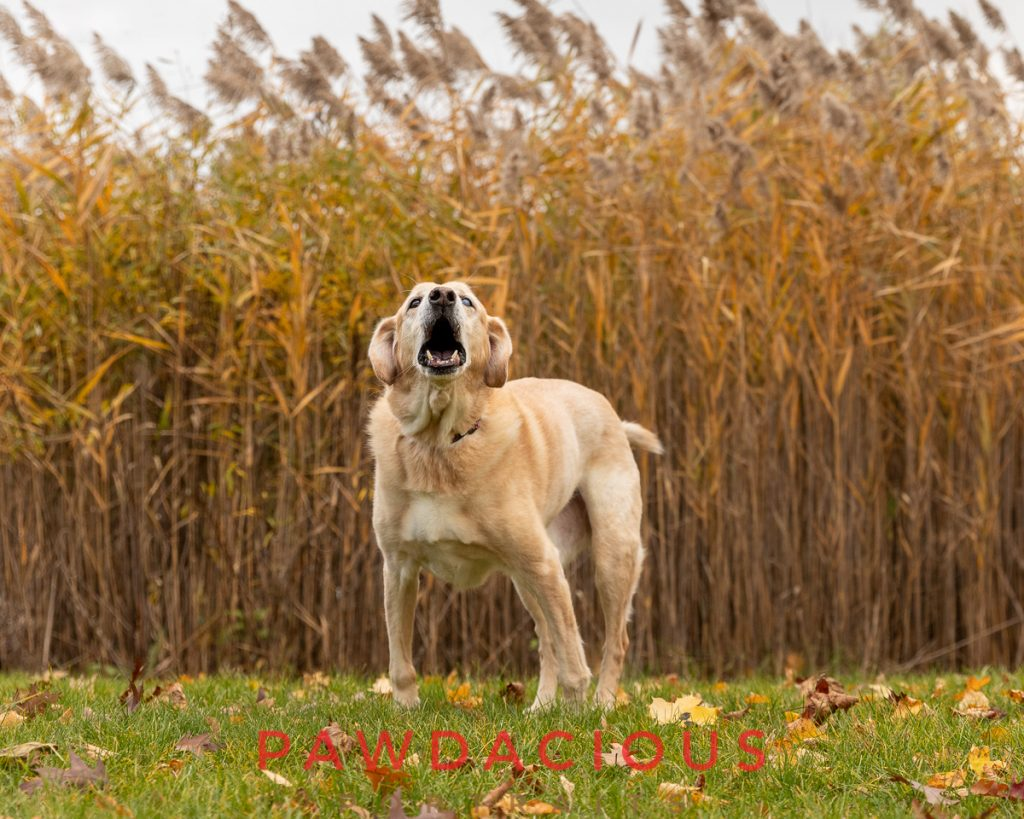 A senior yellow lab with an open mouth to bark in a fall landscape