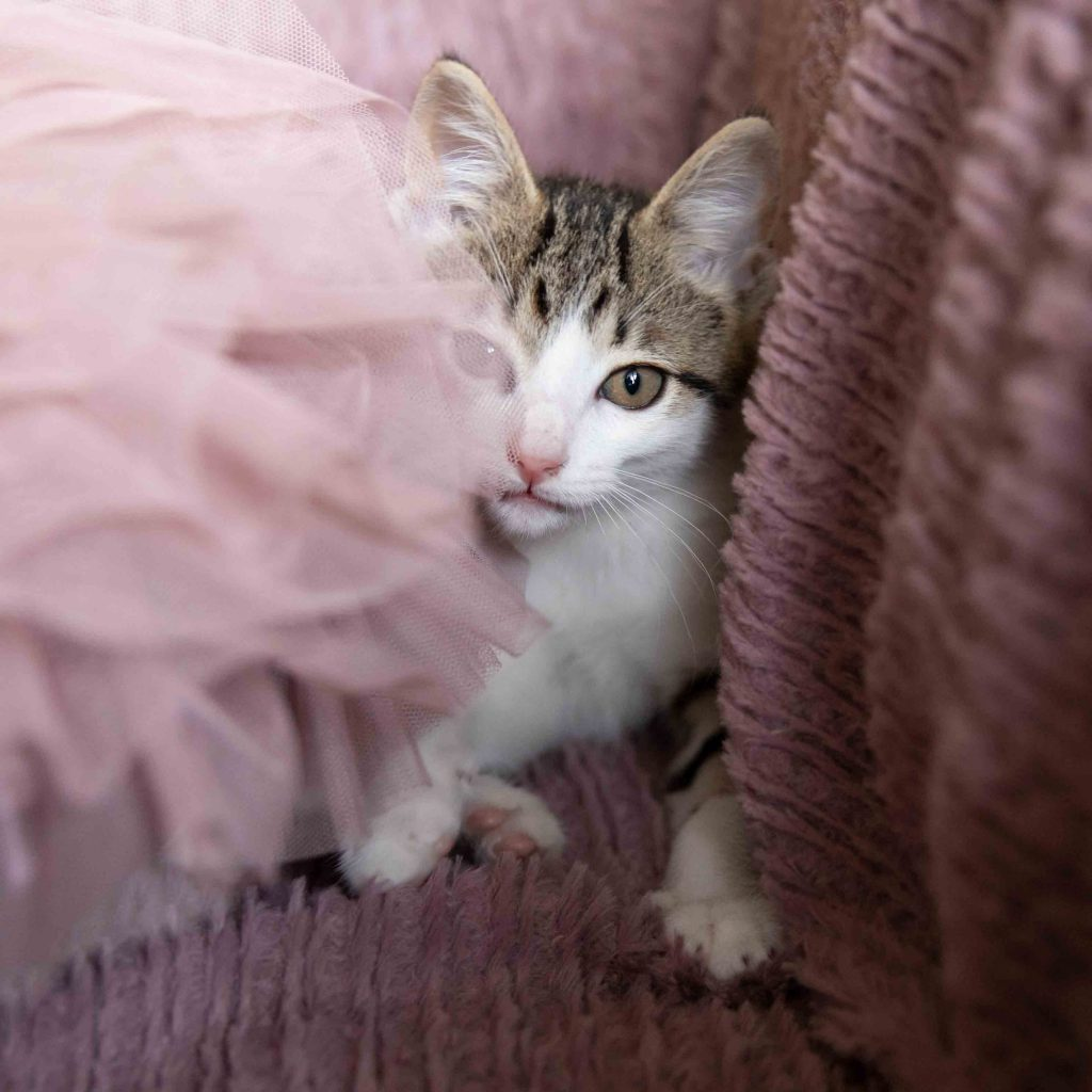 A tabby and white kitten on a pink blanket and tulle pillow