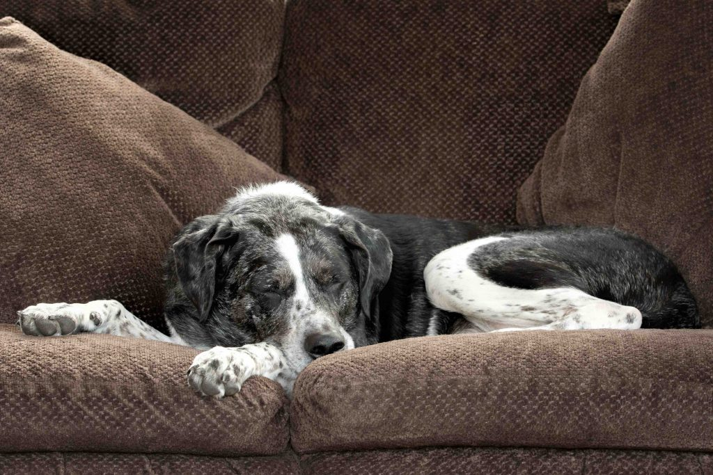 A black and white catahoula dog sleeps peacefully on a brown couch