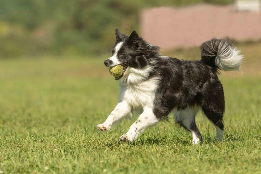 A border collie mix runs happily with a tennis ball in a dog park