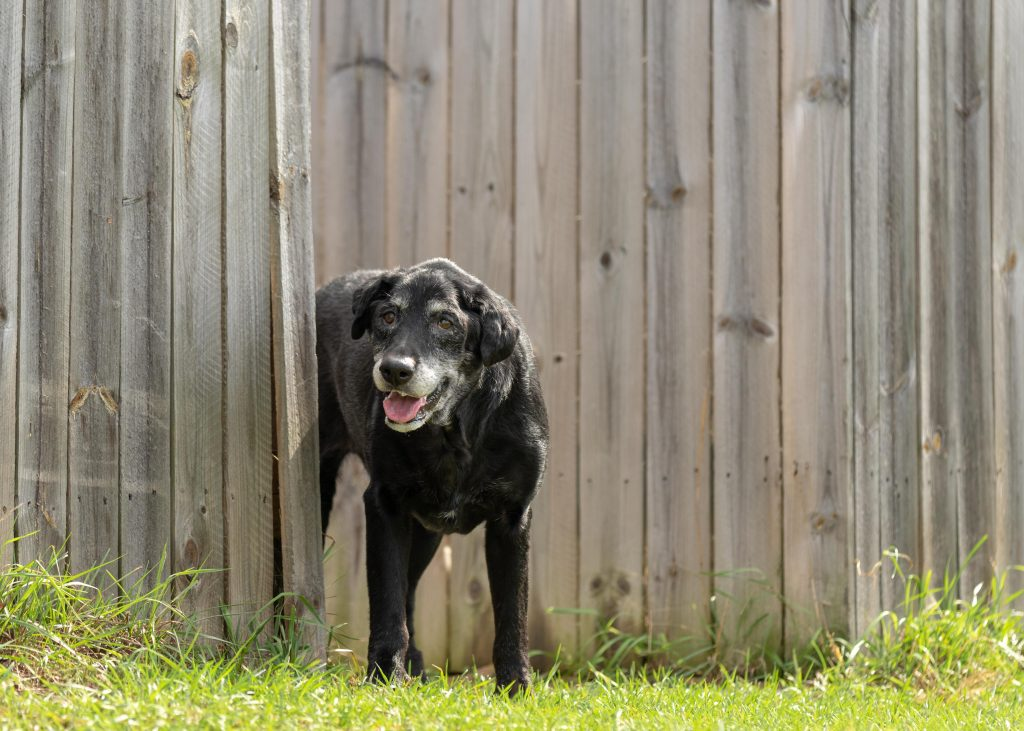 An old black lab mix dog looks happy next to a fence at the Silver Muzzle Cottage rescue in Michigan