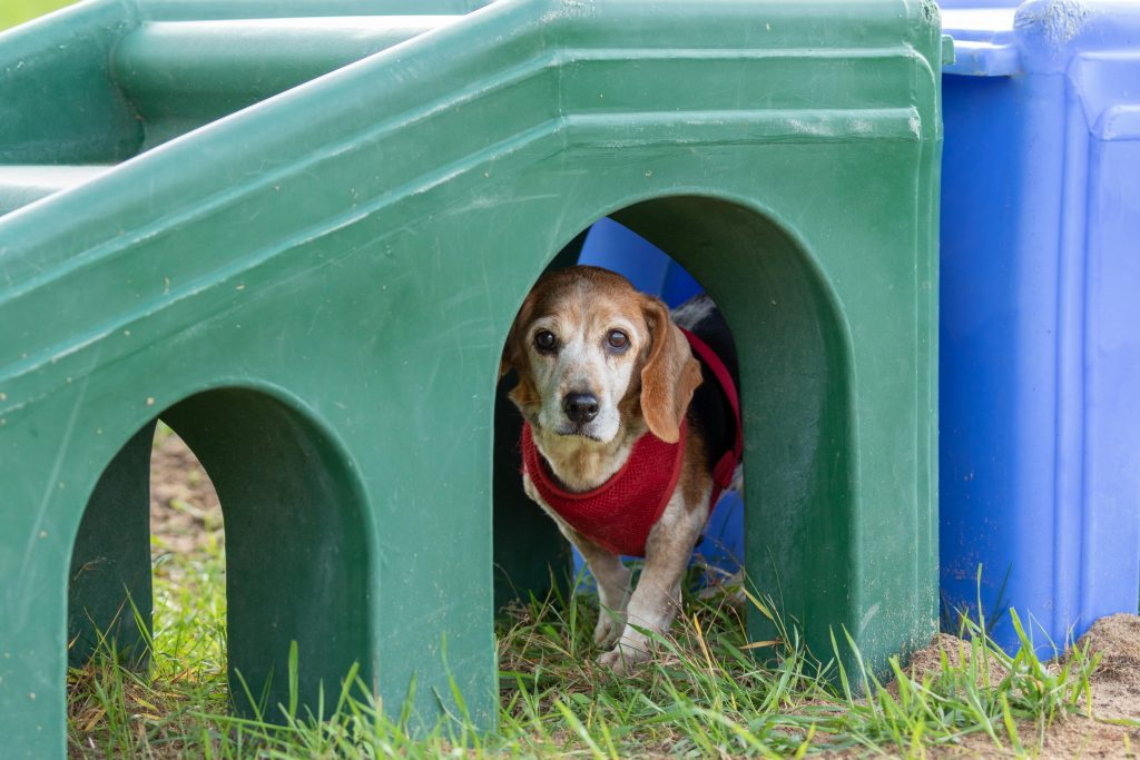 A senior beagle wearing a red harness plays in a plastic playground at a dog rescue