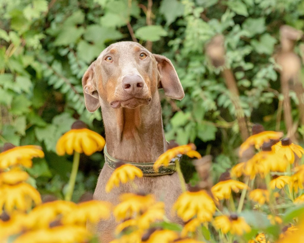 A goofy doberman dog surrounded by yellow coneflowers