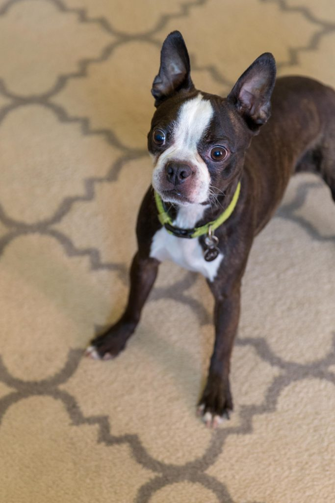 A boston terrier dog with a funny surprised look on his face