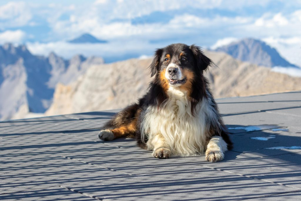 Australian Shepherd on platform on top of Zugspitze mountain in Germany