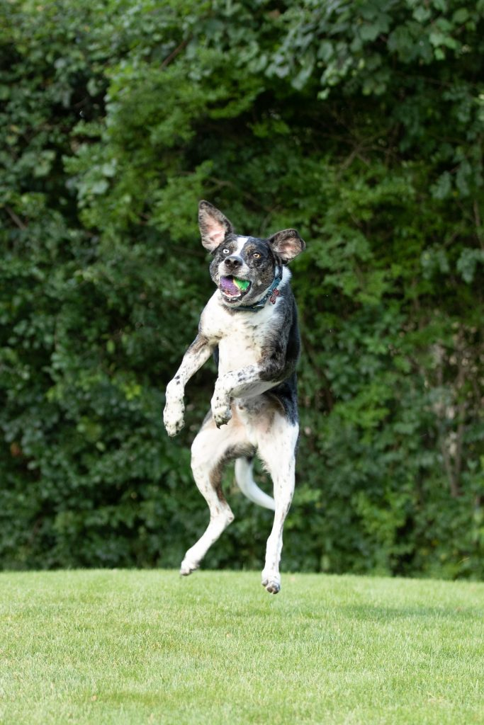 Dog leaping into the air to catch a tennis ball