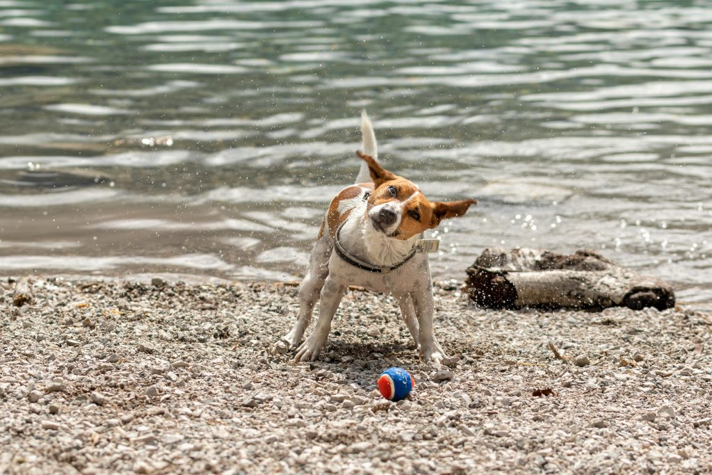 A small terrier mix dog shakes off water next to a lake