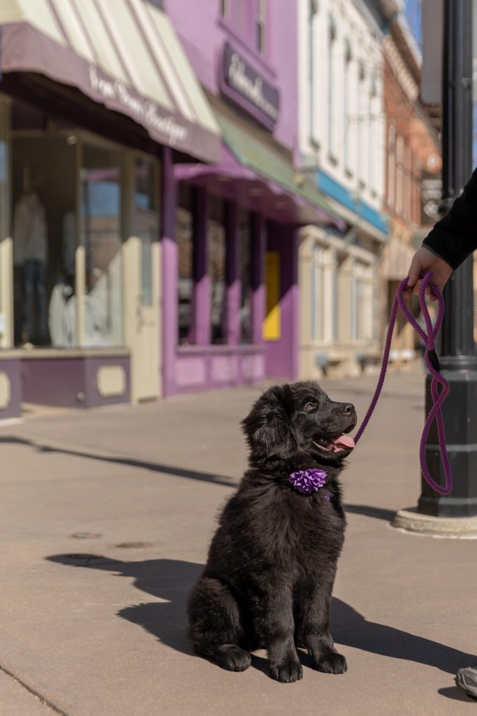 Black newfoundland puppy in front of Northville, Michigan, downtown store fronts
