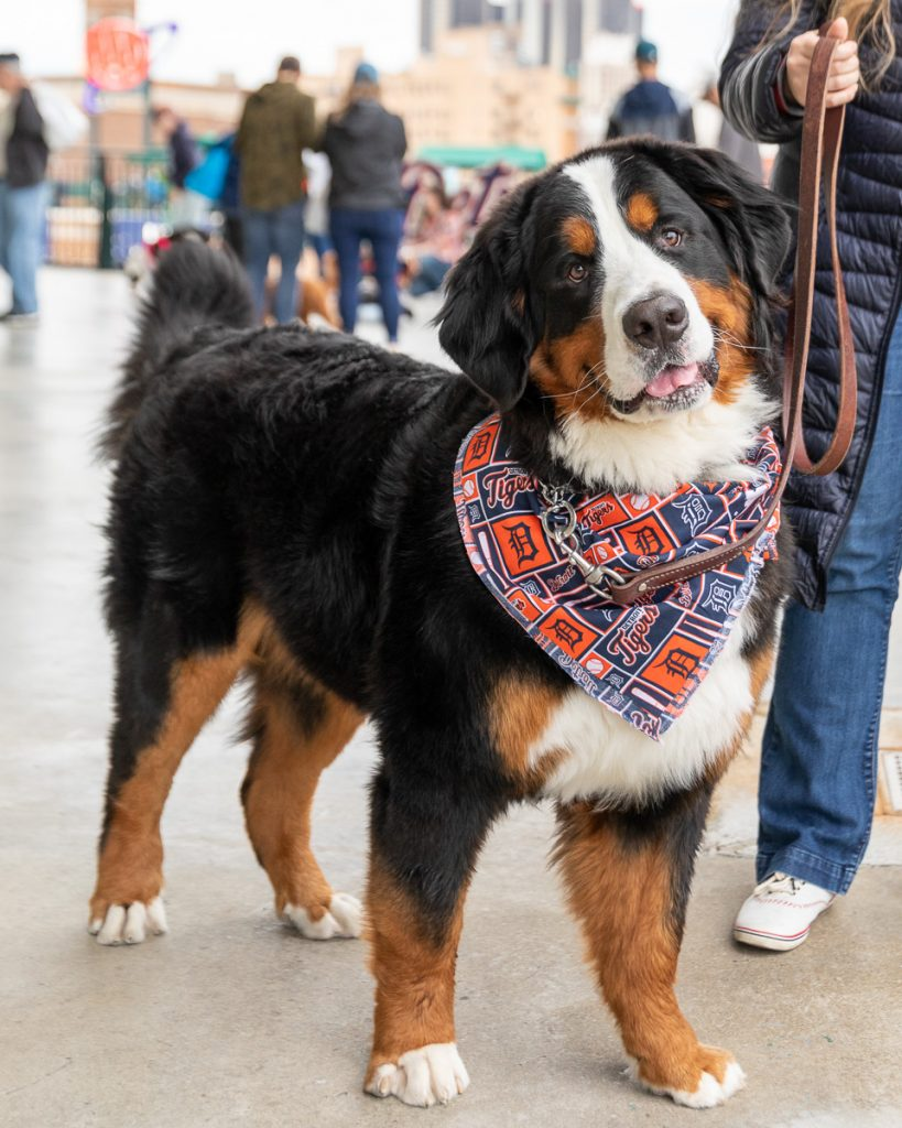 A Bernese mountain dog wearing a Tigers baseball bandana at Comerica Park