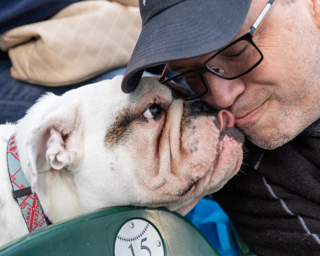 An English bulldog licks a man in the stadium seats at Comerica Park, Detroit