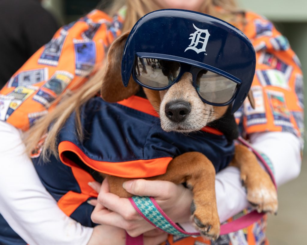 A small dog wearing a replica Tigers batting cap and sunglasses