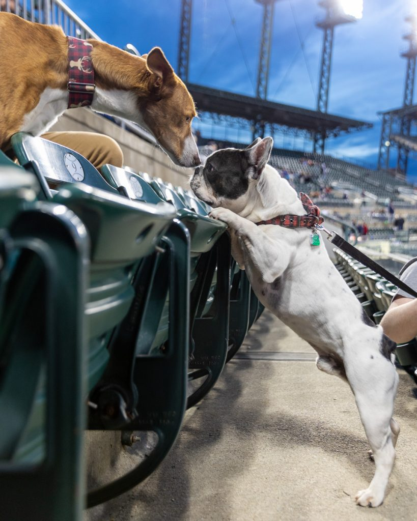 A french bulldog and a hound sniff noses over a row of seats at Comerica Park, Detroit