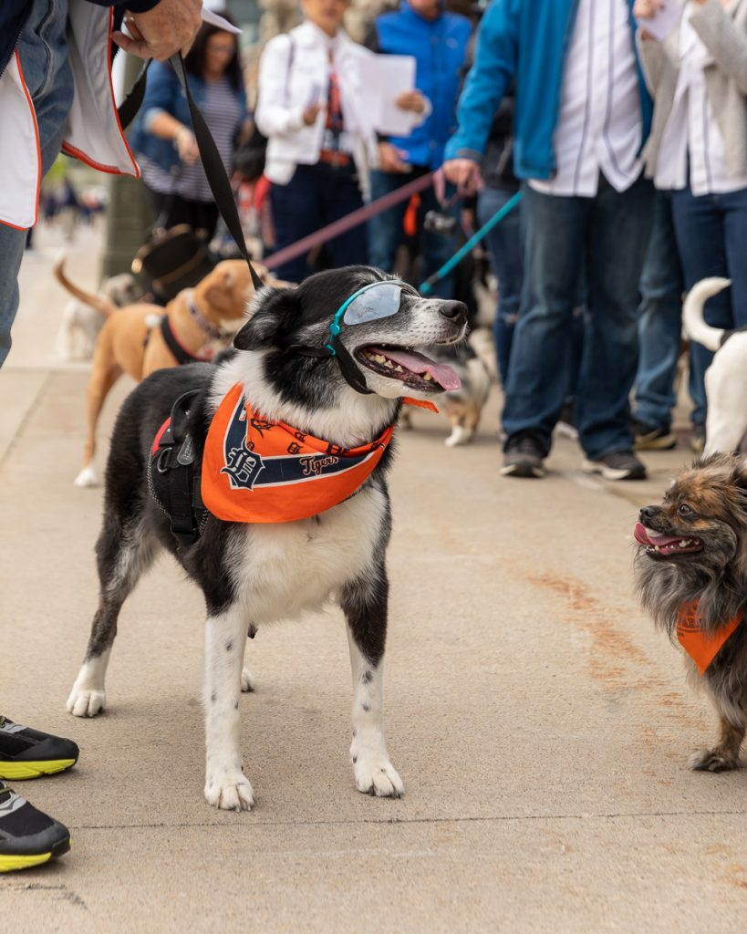 Tigers fans, both dog and human, are lined up waiting to enter Comerica Stadium for Bark at the Park