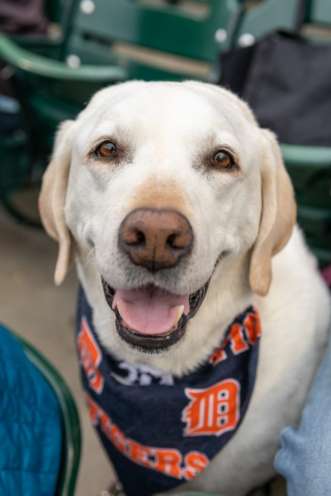 A smiling cream lab wearing a Detroit Tigers bandana while at Comerica Park