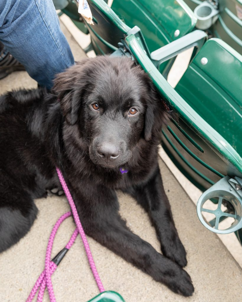 A black newfie puppy in the seats at Comerica Park, Detroit