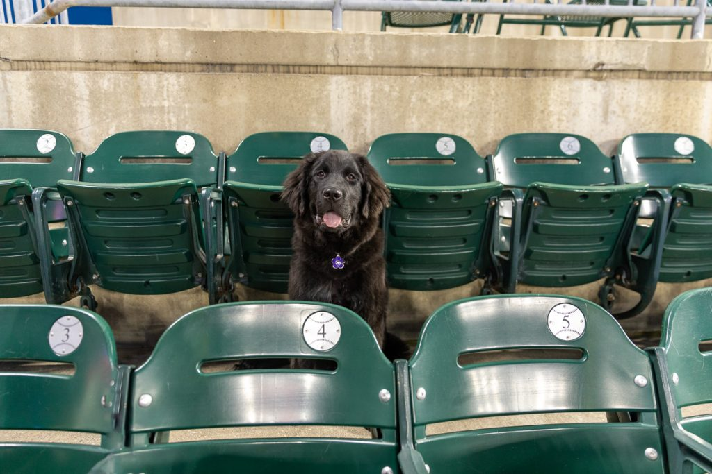 A black Newfoundland puppy dog sits in an empty row of seats at Comerica Park