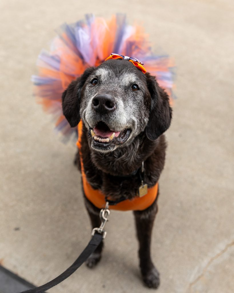 A senior black lab wearing a Tiger's baseball themed tutu dress and hair bow