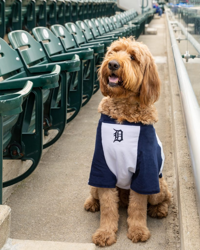 A happy goldendoodle wearing a Detroit Tigers jersey at Comerica Park