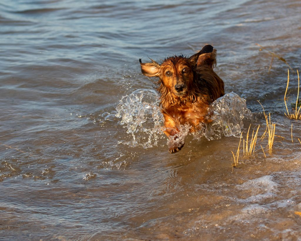 A wet dachshund plows through the water at Old Mission Lighthouse state park in Traverse City