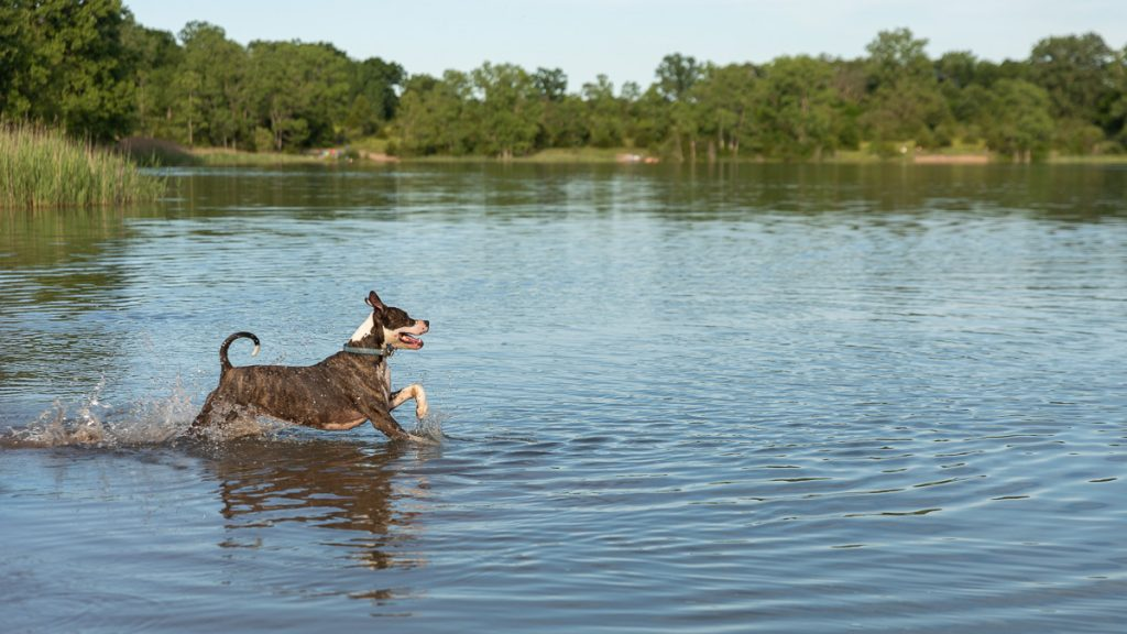 A happy pitbull prances through the water of Trout Lake in Island Lake State park