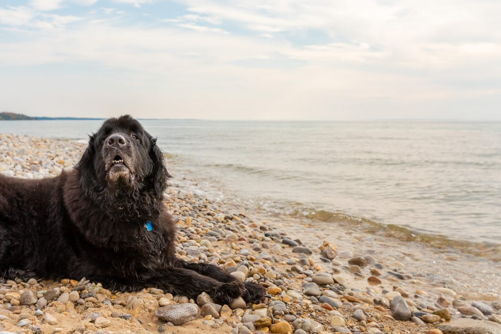 A black newfoundland dog along the rocky shore of Lake Michigan