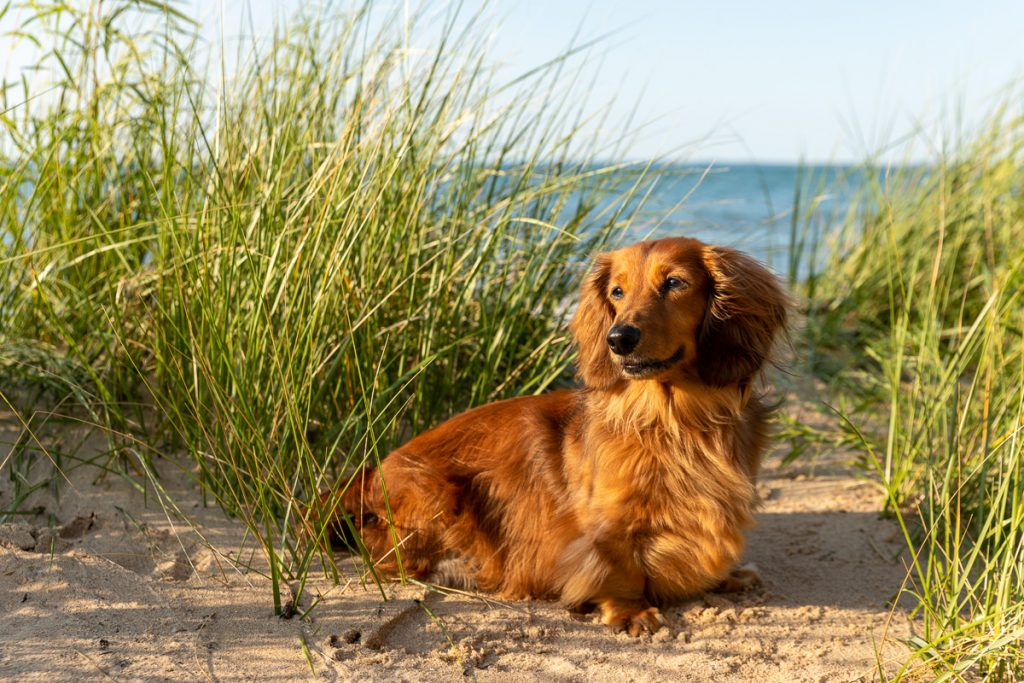 A golden dachshund amongst the green dune grasses in Traverse City, Michigan