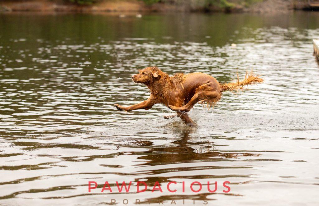 A golden retriever dog about to splash into a lake