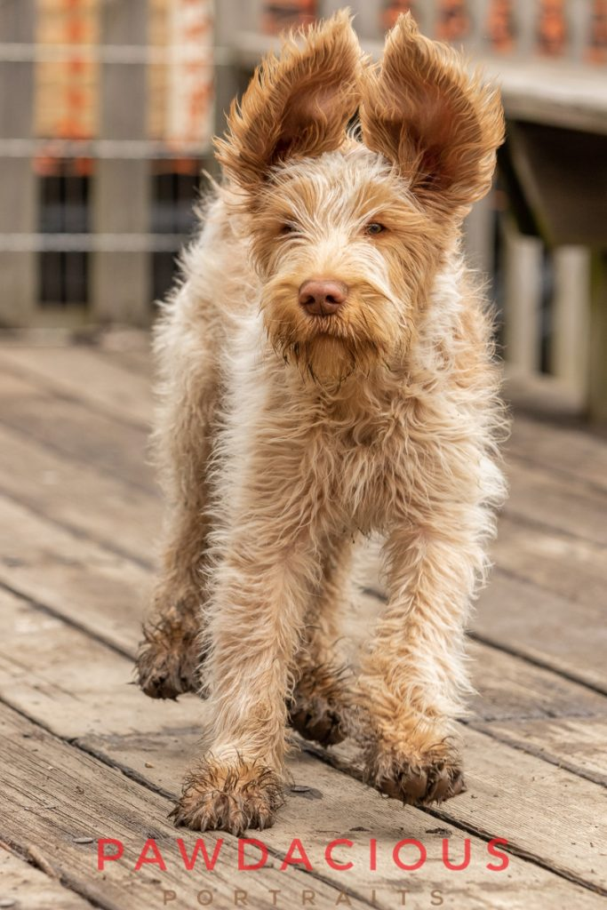 A wet and muddy Italian Spinone puppy making a funny face