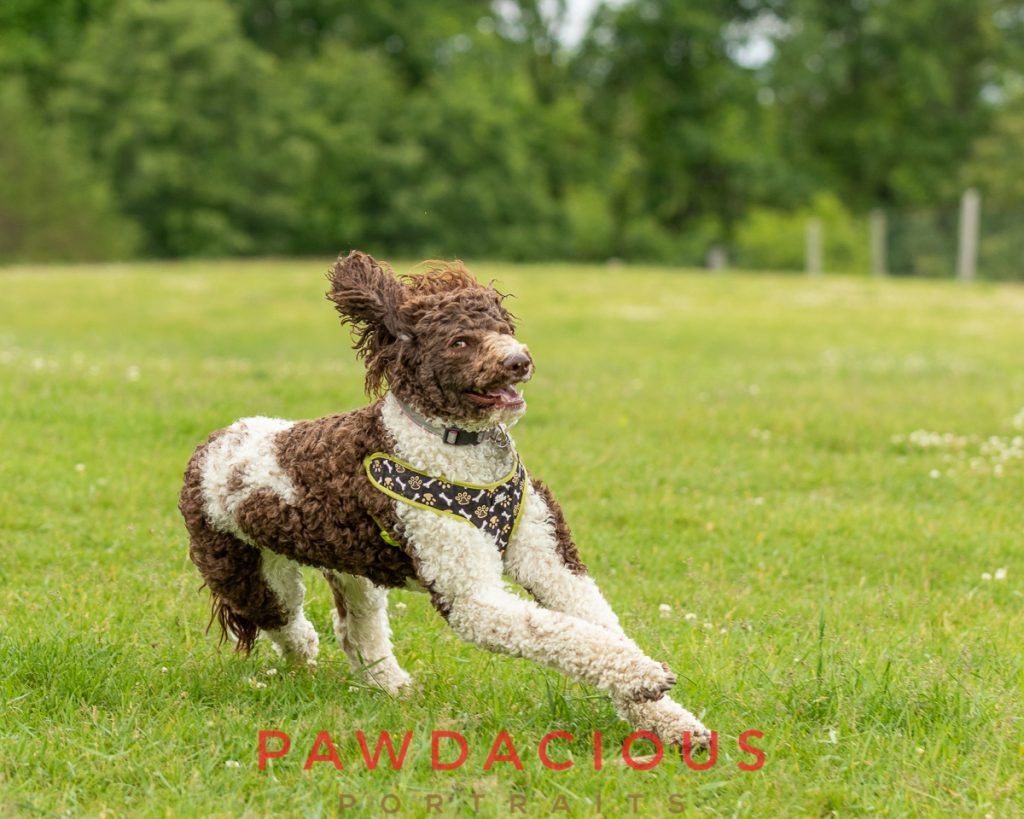 A brown and white doodle dog wearing a harness running in the grass