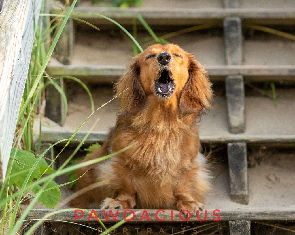 A barking dachshund dog sitting on beach stairs in Traverse City, MI